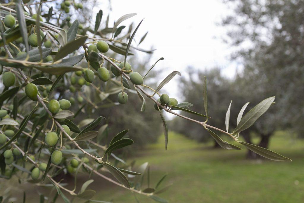 produzione olio extra vergine di olivs